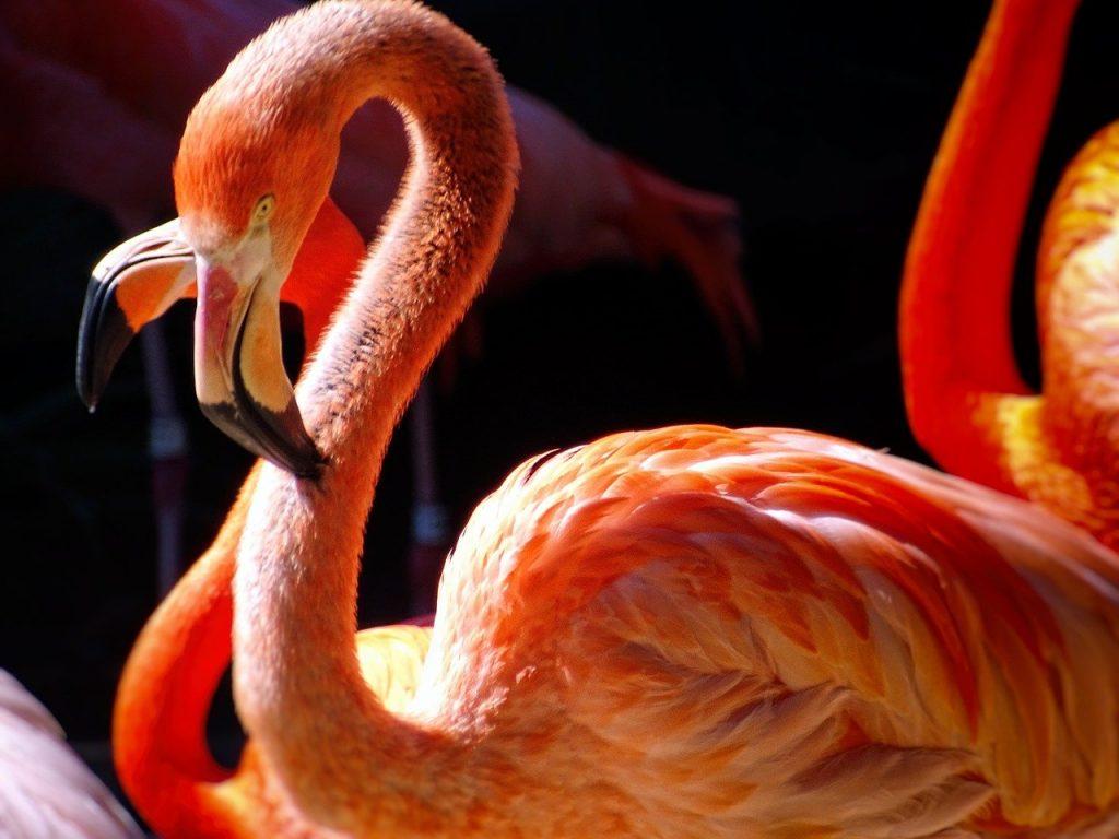 flamingos, zoo, san diego